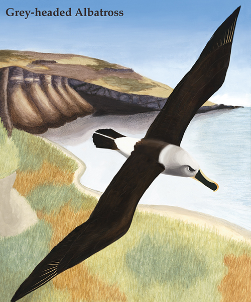 Losing Altitude Gray — Headed Albatross